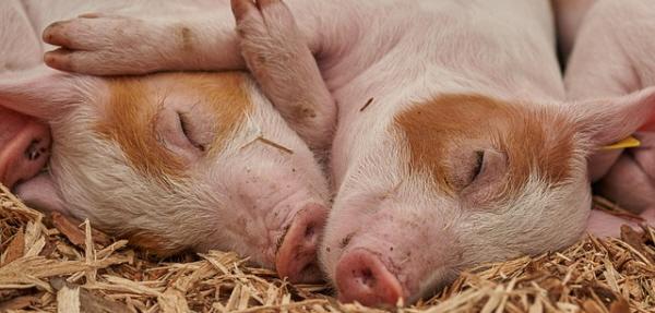 仲良く寝そべる豚
